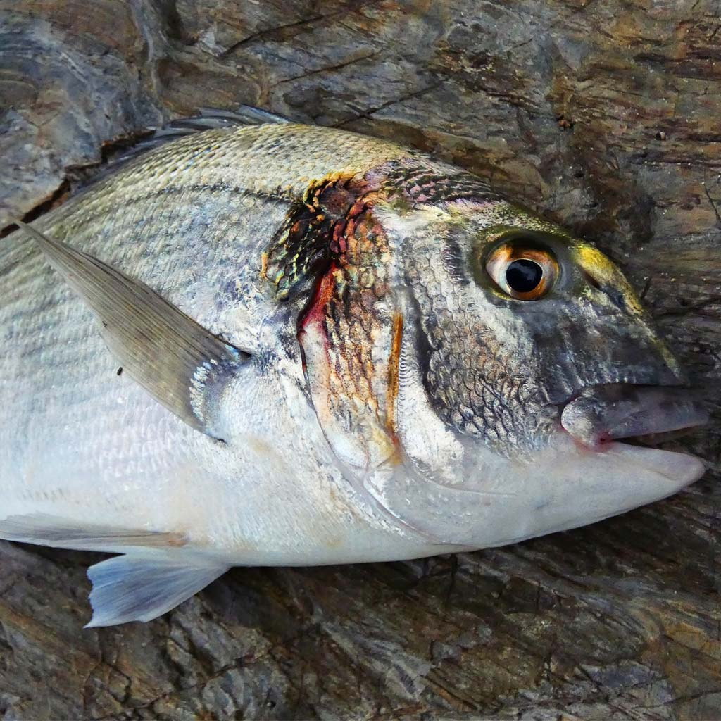 HookPoint Fishing Magazine Ben Conway Cornwall gilts gilthead bream open shore