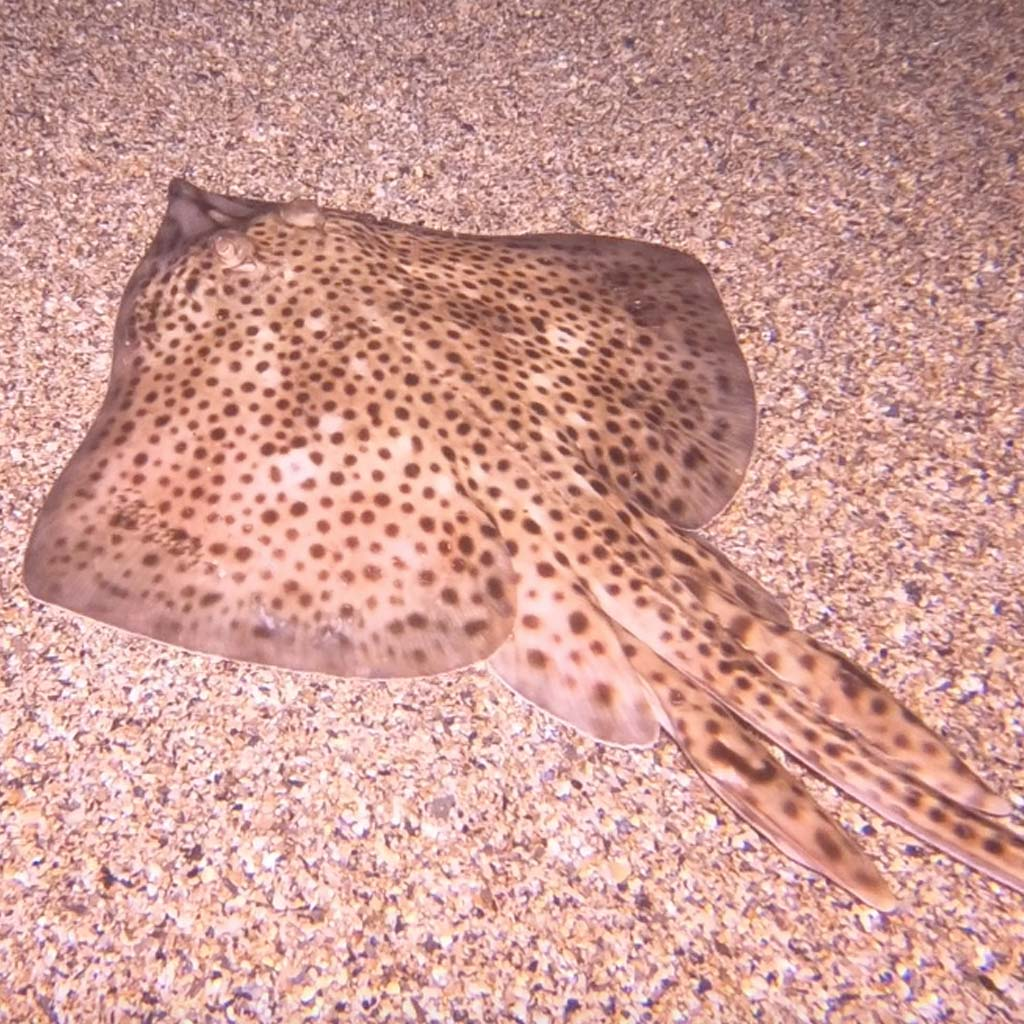 Spotted Ray on seabed match the hatch