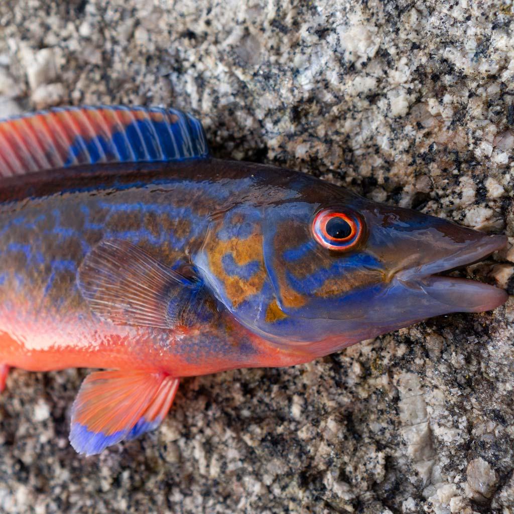 Cuckoo Wrasse colourful fish