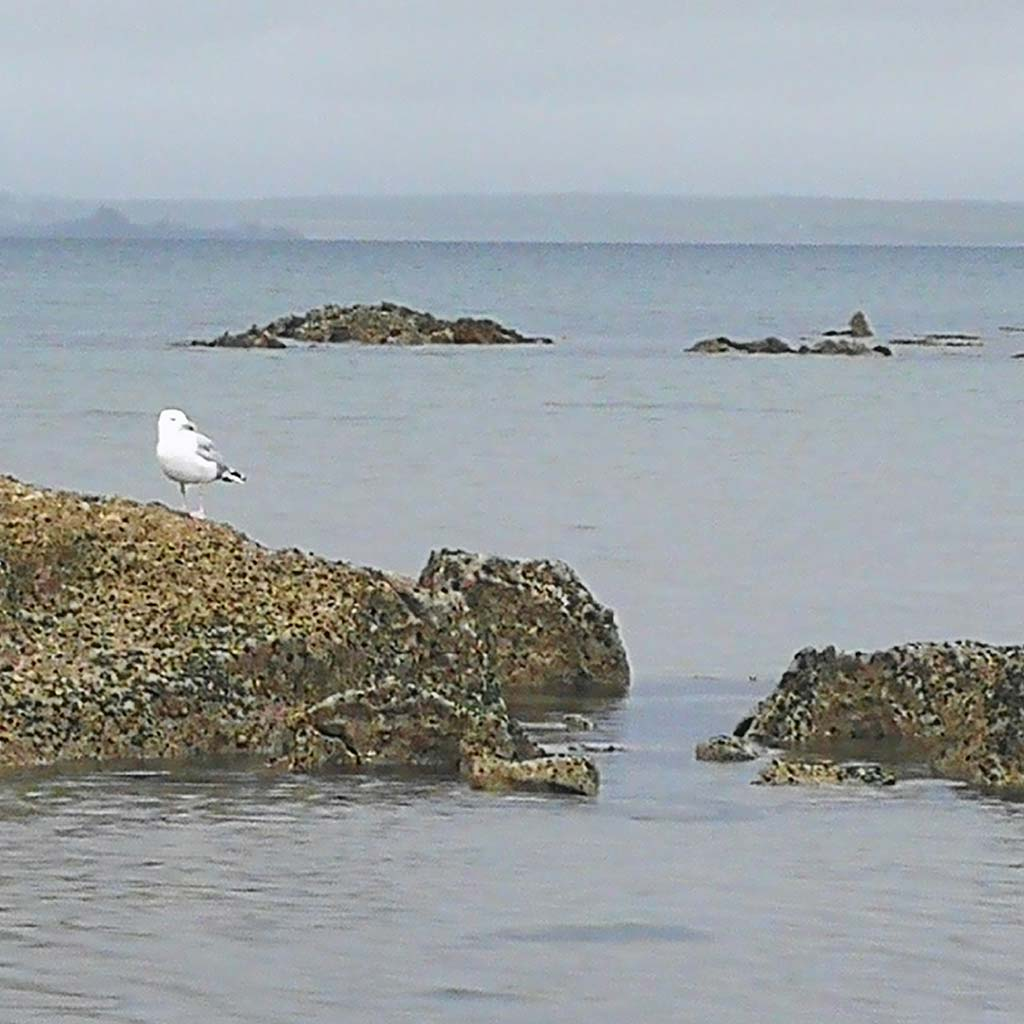 seagull on rock tralee bay