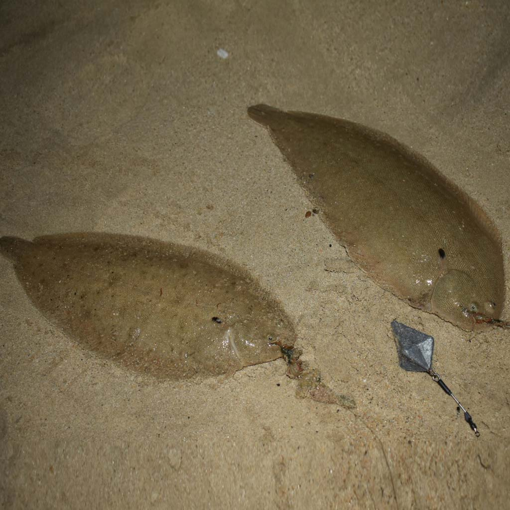 a brace of dover sole on an urfe rig