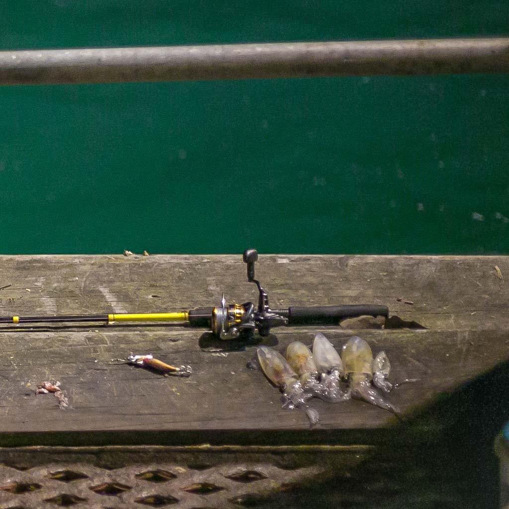 a selection of dorset early season squid