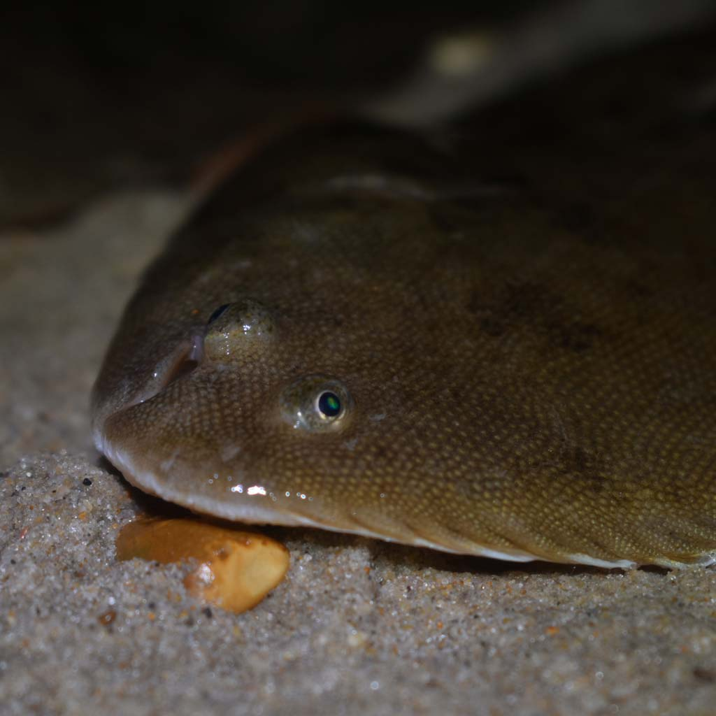 a dover sole from dorset