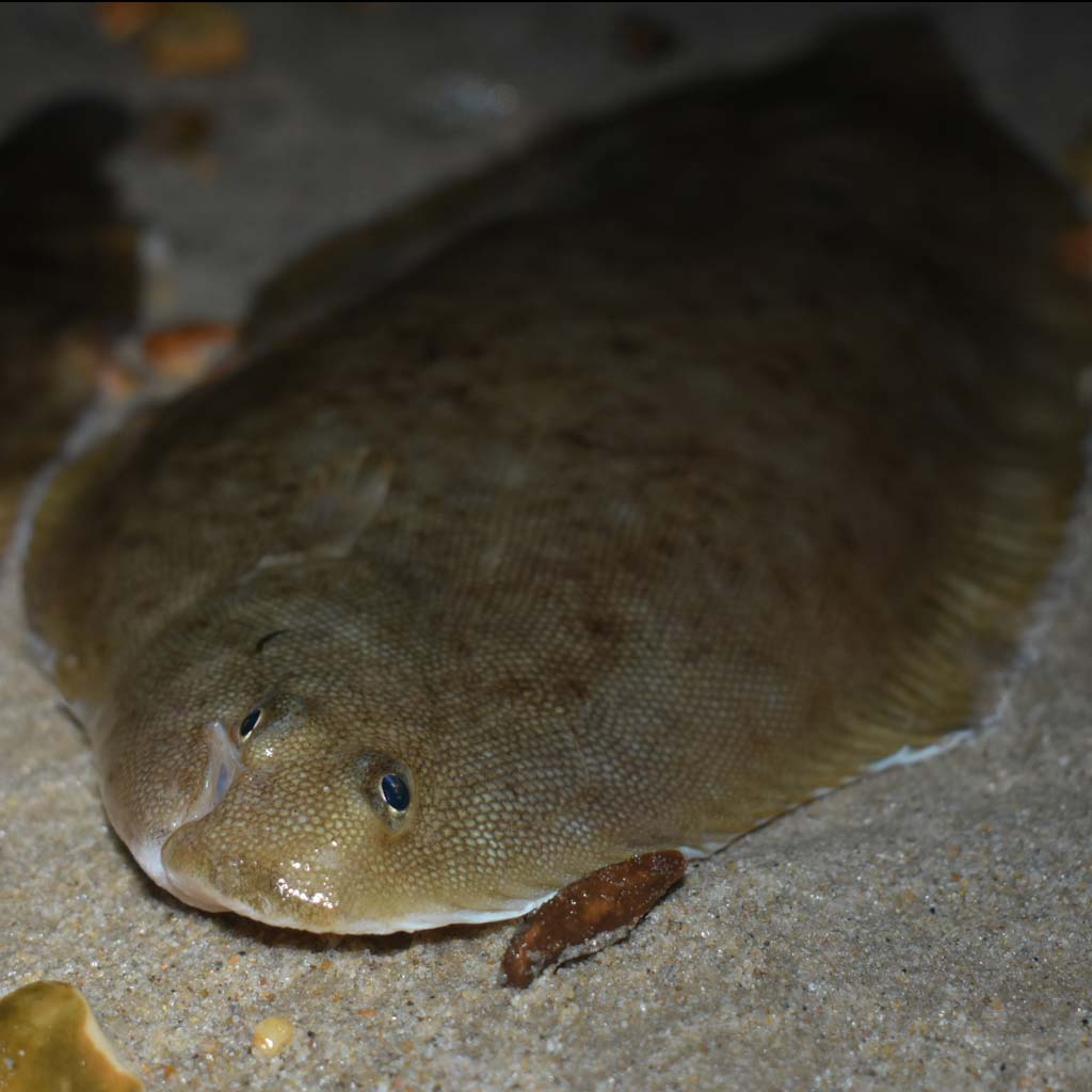 a fine dover sole caught on an urfe rig
