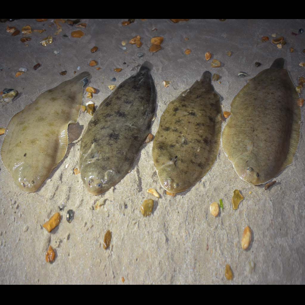 a selection of sole caught on an urfe rig