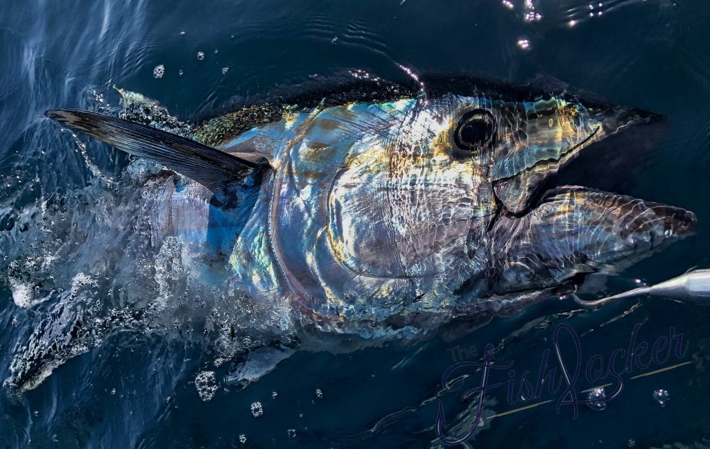 awesome blue fin tuna caught from small boat