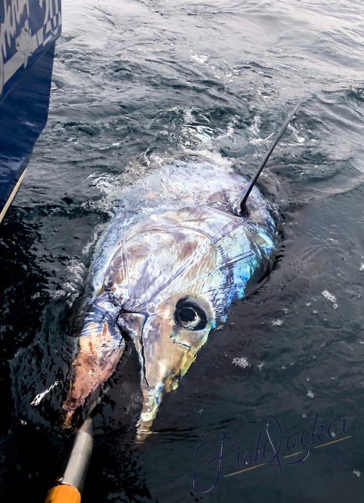 blue fin tuna cornwall small boat