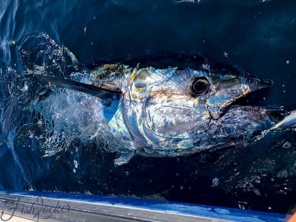 stunning blue fin tuna