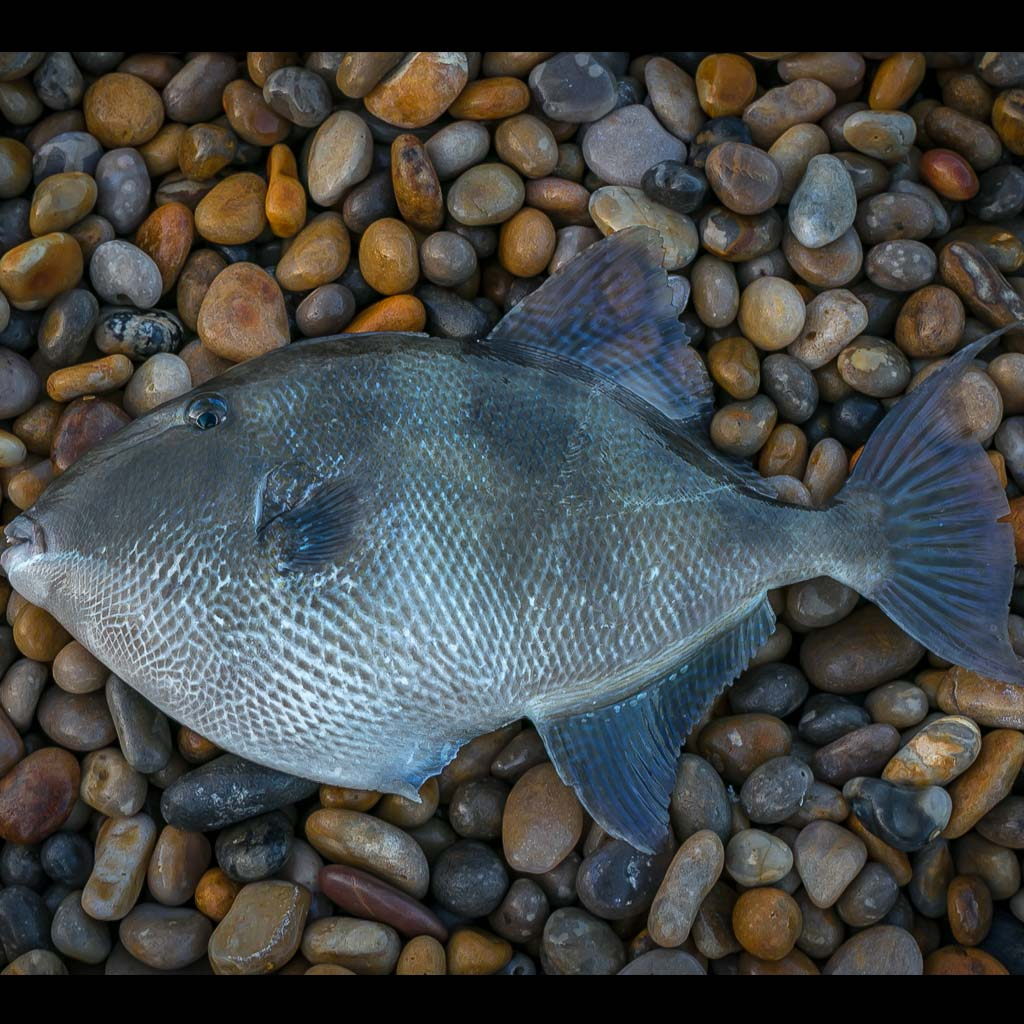trigger fish chesil beach dorset