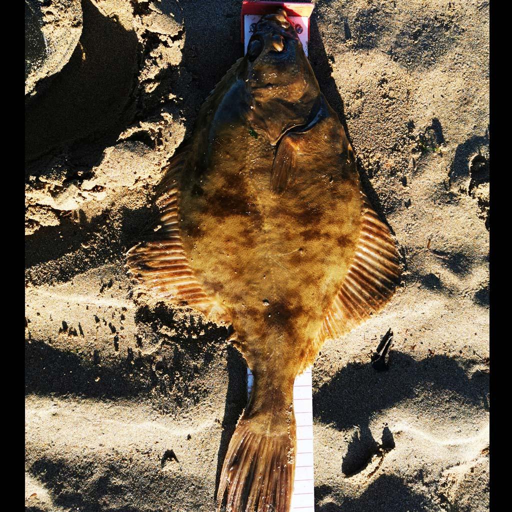 specimen flounder dingle