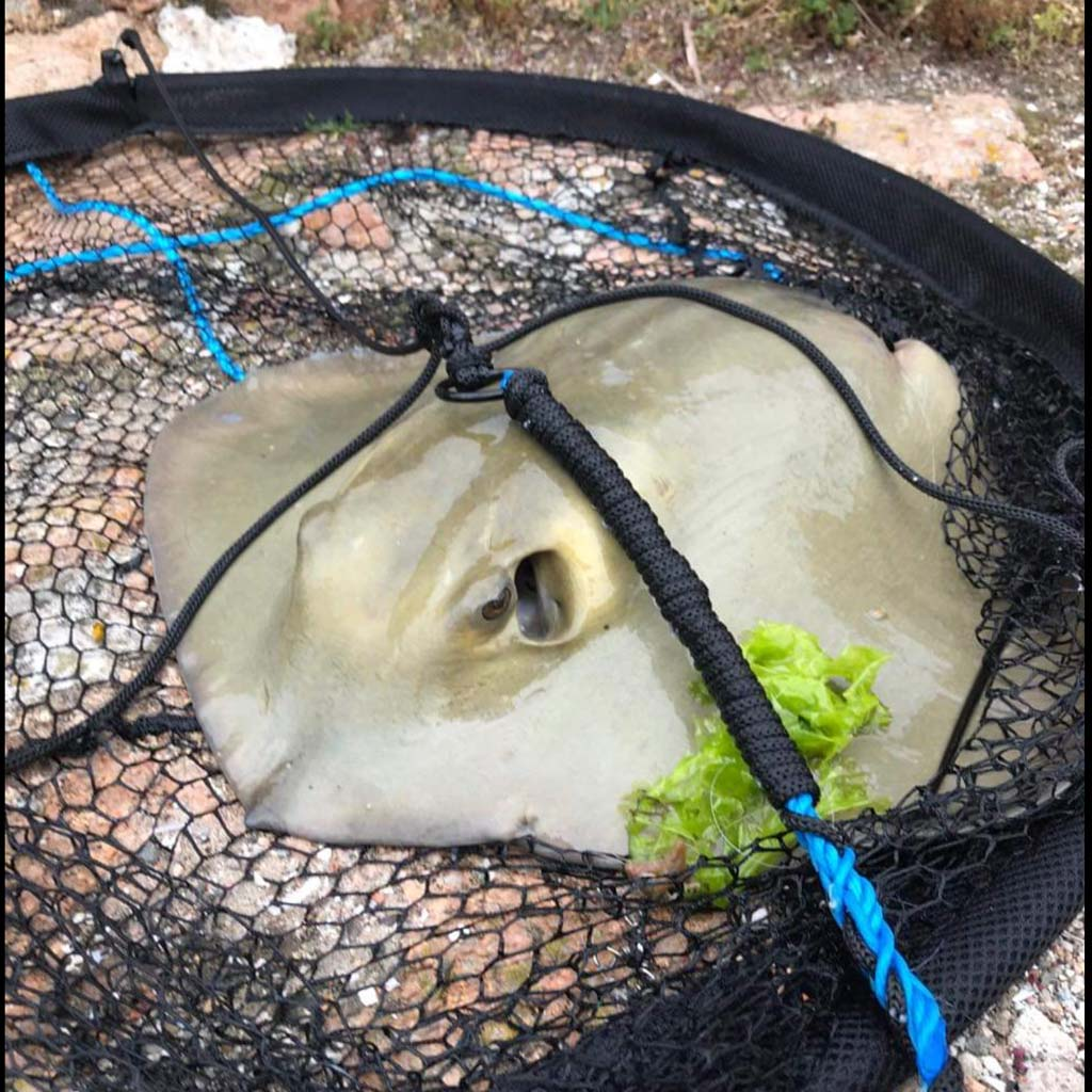 a shock capture of a stingray in the Jersey angling festival