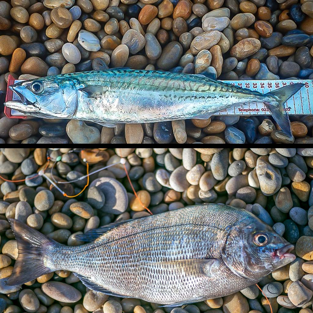 mackerel and black bream