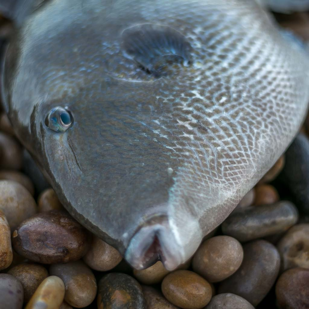 Trigger fish chesil