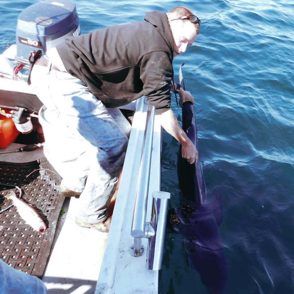 a blue shark being released at the side of the boat