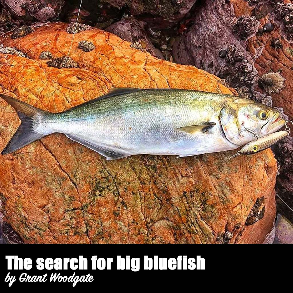 search for big bluefish