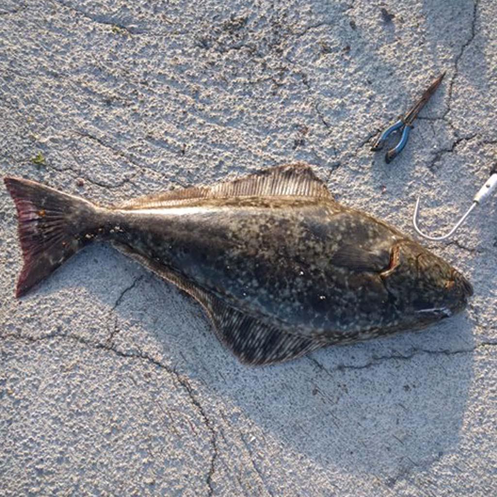 halibut lying on the floor rolla norway