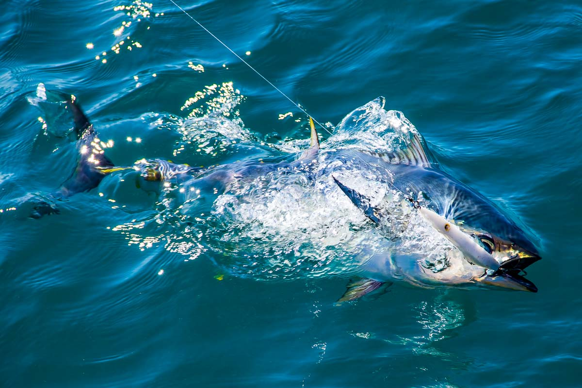 a stunning image of a longtail tuna nearing the end of a fight caught on a samson pelagic lure