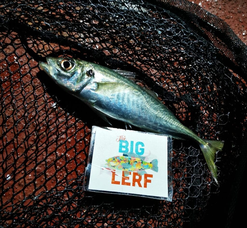 A scad caught during the Big Lerf