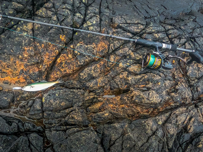 A prime bait sized coalfish from scotland