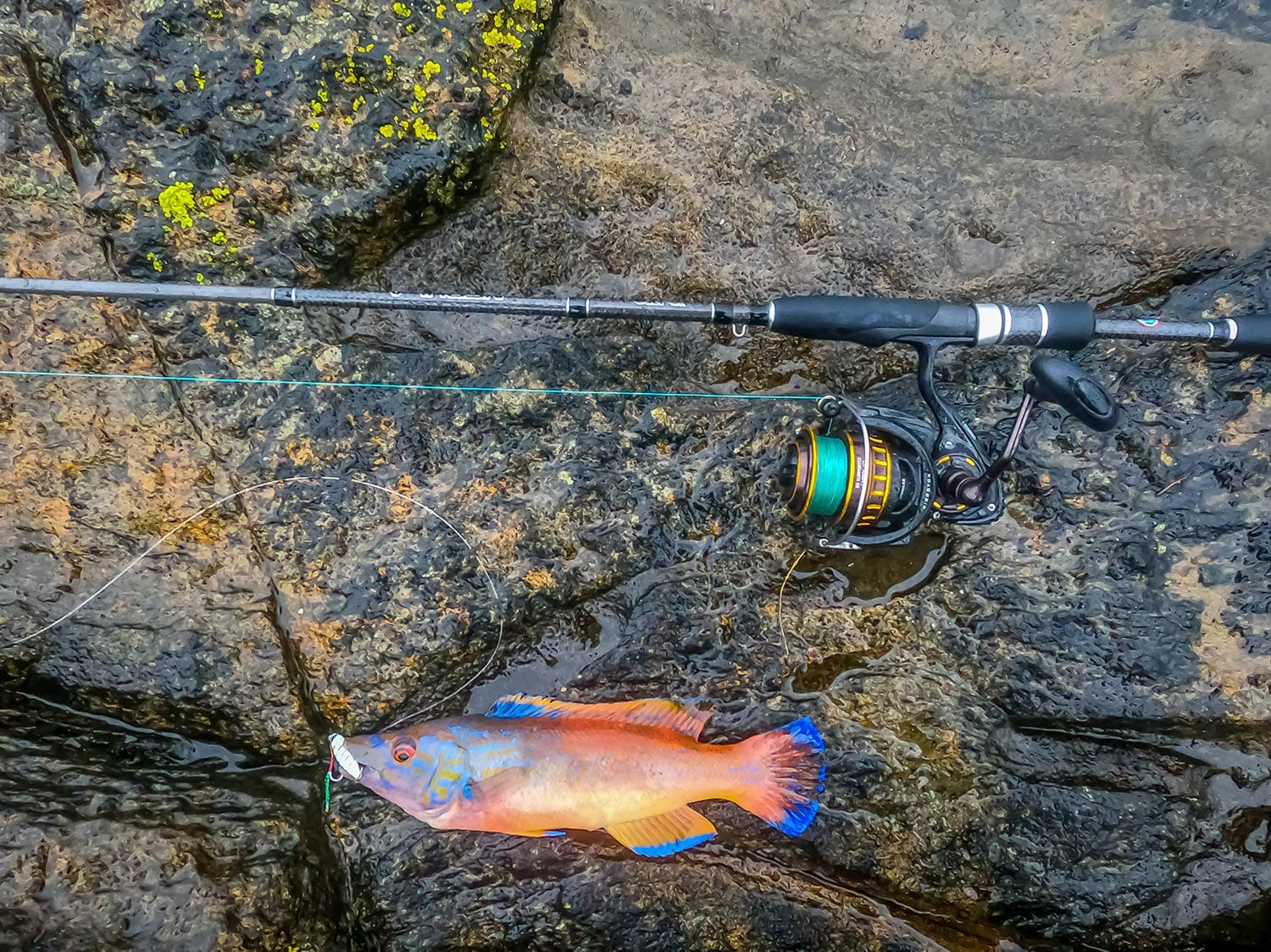 a male cuckoo wrasse from scotland