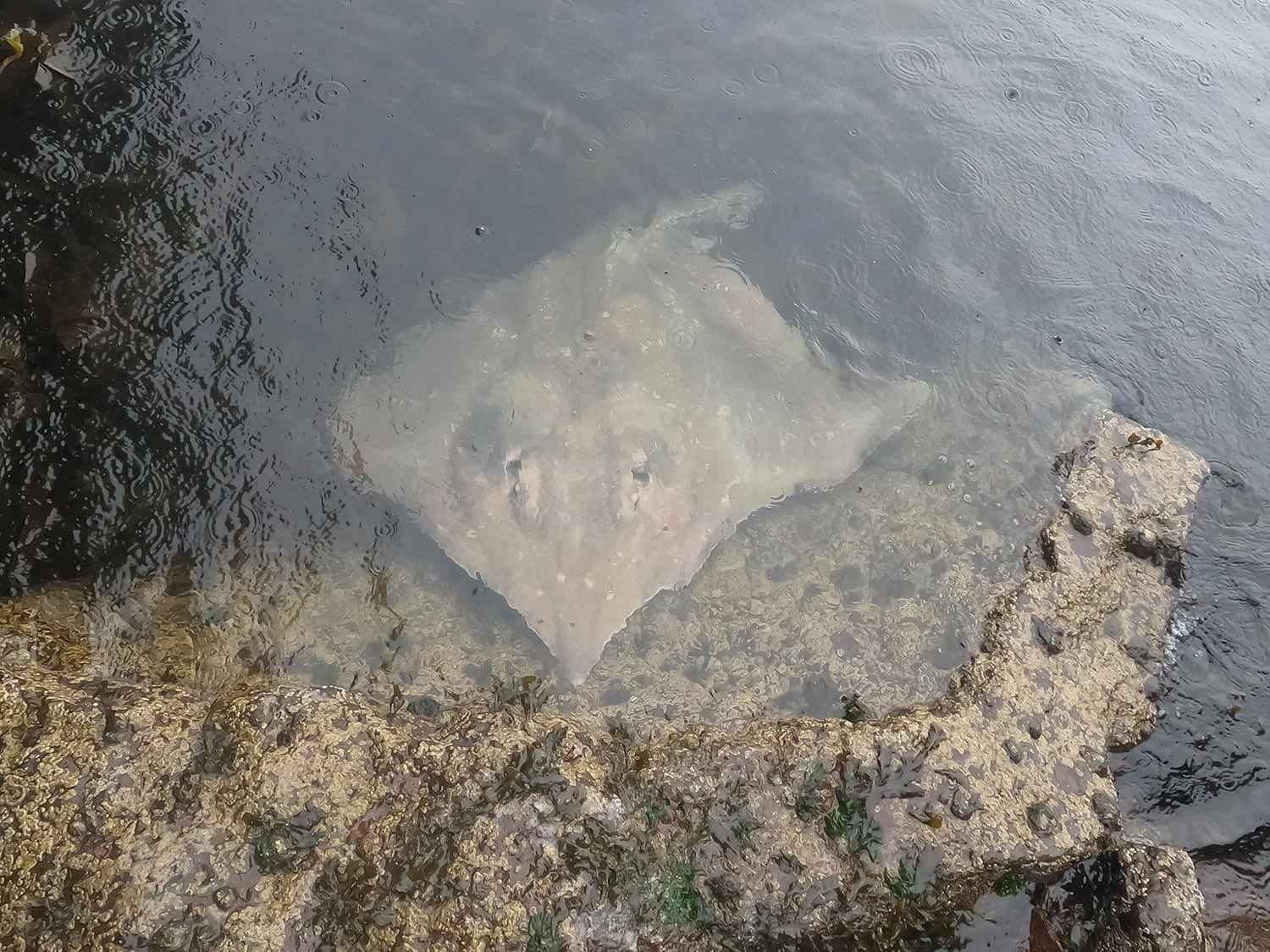 a common skate recovering in the shallows before swimming back to the deeps