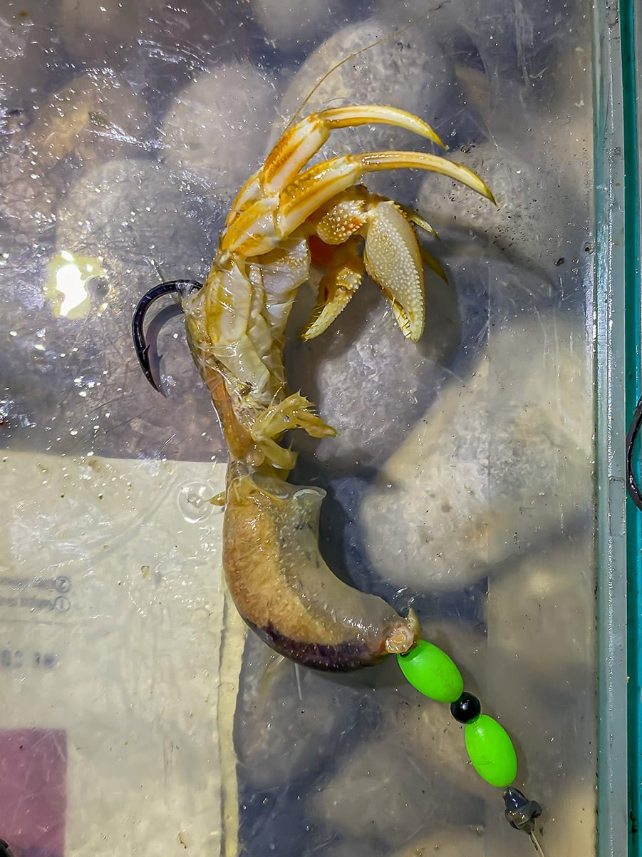 hermit crabs are great bait for chesil cod fishing
